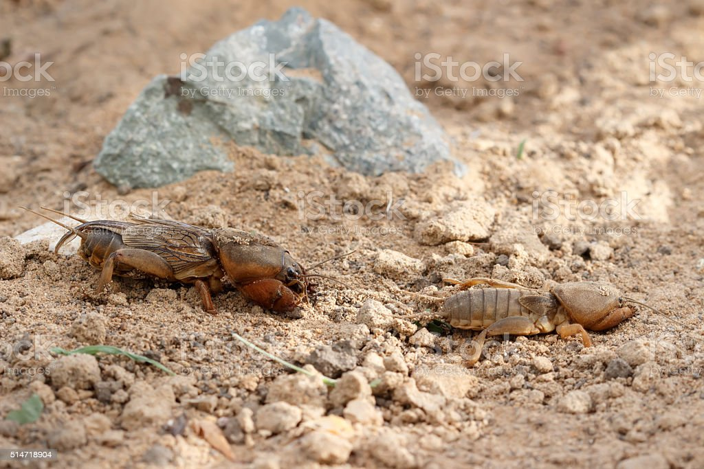 Closeup two  European mole cricket (Gryllotalpidae) running stock photo