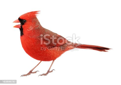 Male northern cardinal, cardinalis cardinalis, with its beak open isolated on white