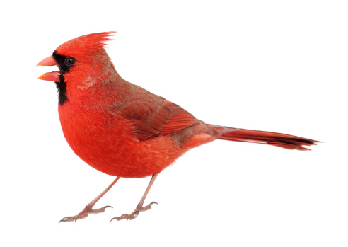 istock Closeup up of Northern Cardinal on white background 163899292