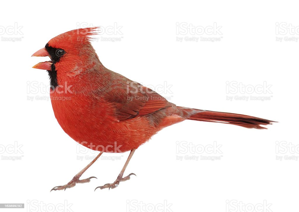 Closeup up of Northern Cardinal on white background stock photo
