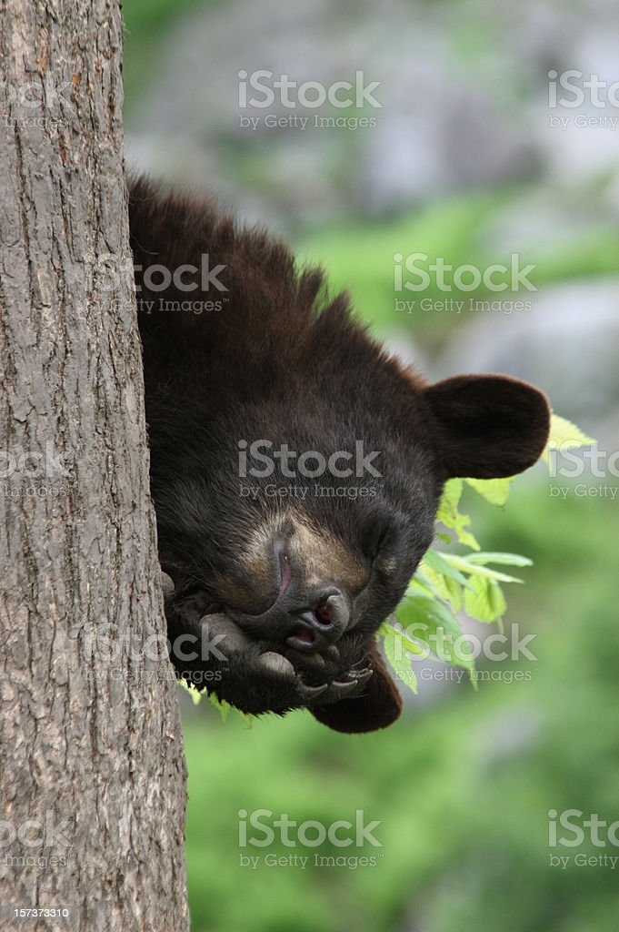 Close-up Vertical of Black Bear Cub Asleep in Tree stock photo