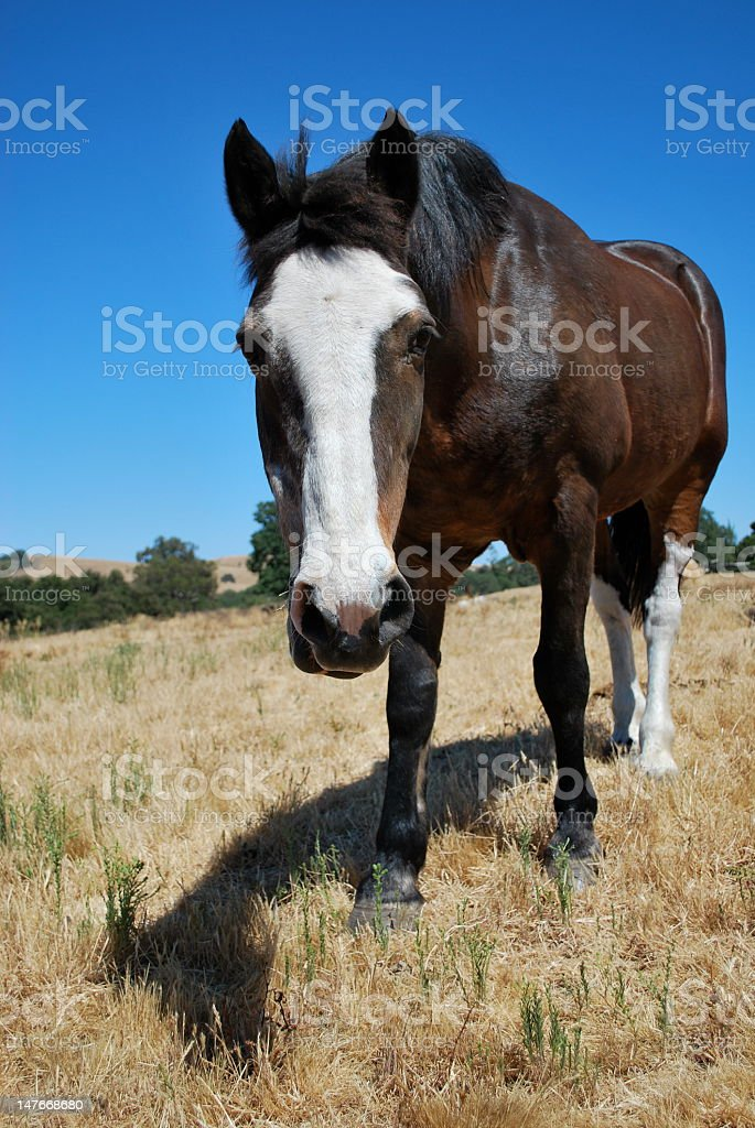 Closeup Vertical Old Mare stock photo
