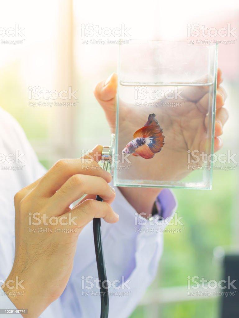 Closeup Tierarzt Hand benutzen Stethoskop, um Betta Fische in Glaswanne zu diagnostizieren. – Foto