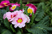 Closeup view colorful flower primrose ,primula vulgaris.Primula is an spring flower. View from above of floral pattern. Primula is a genus of herbaceous flowering plants,blurred background.