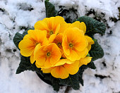 Closeup view flower primula in snow. Spring flower ornamental yellow Primula with green leafs . View from above of floral pattern. Primula is a genus of herbaceous flowering plants in the family Primulaceae.