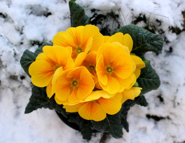 Closeup view flower primula in snow. Spring flower ornamental yellow Primula with green leafs . View from above of floral pattern. Primula is a genus of herbaceous flowering plants Closeup view flower primula in snow. Spring flower ornamental yellow Primula with green leafs . View from above of floral pattern. Primula is a genus of herbaceous flowering plants in the family Primulaceae. primula stock pictures, royalty-free photos & images
