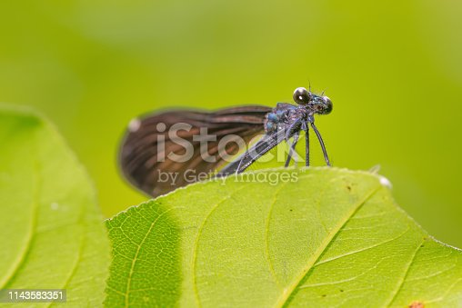 Closeup view from below of damselfly (Jewelwing species I believe) on a leaf with smooth green background - great macro detail of mouth and eyes