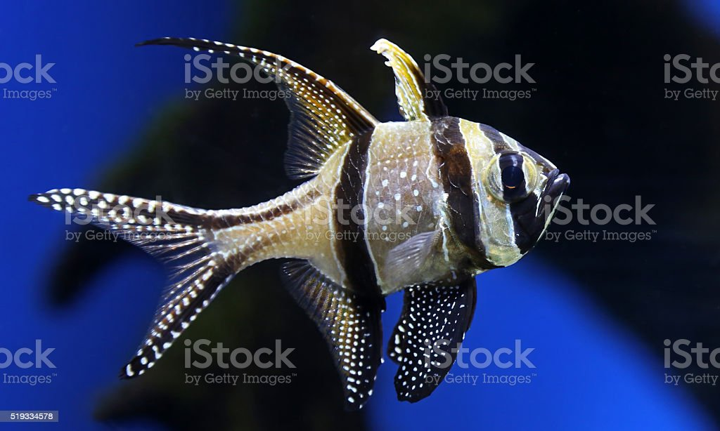 Close-up view of a Banggai cardinalfish stock photo