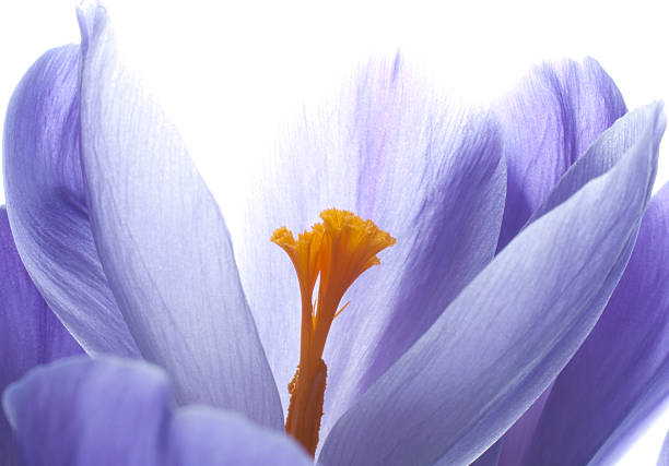Close-up view of a blooming crocus stock photo