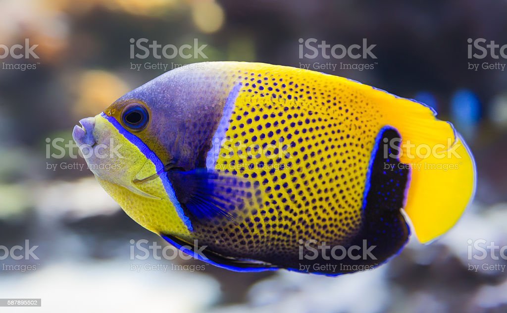Close-up view of a Blue-Girdled angelfish stock photo
