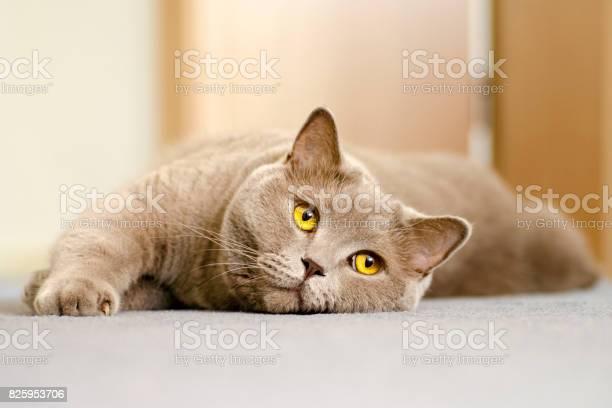 Closeup view of a british cat with yellow eyes lying on a blue carpet picture id825953706?b=1&k=6&m=825953706&s=612x612&h=kka9gpiaktush kcd ovqeqdz1lndch51i5hjiqwxuk=