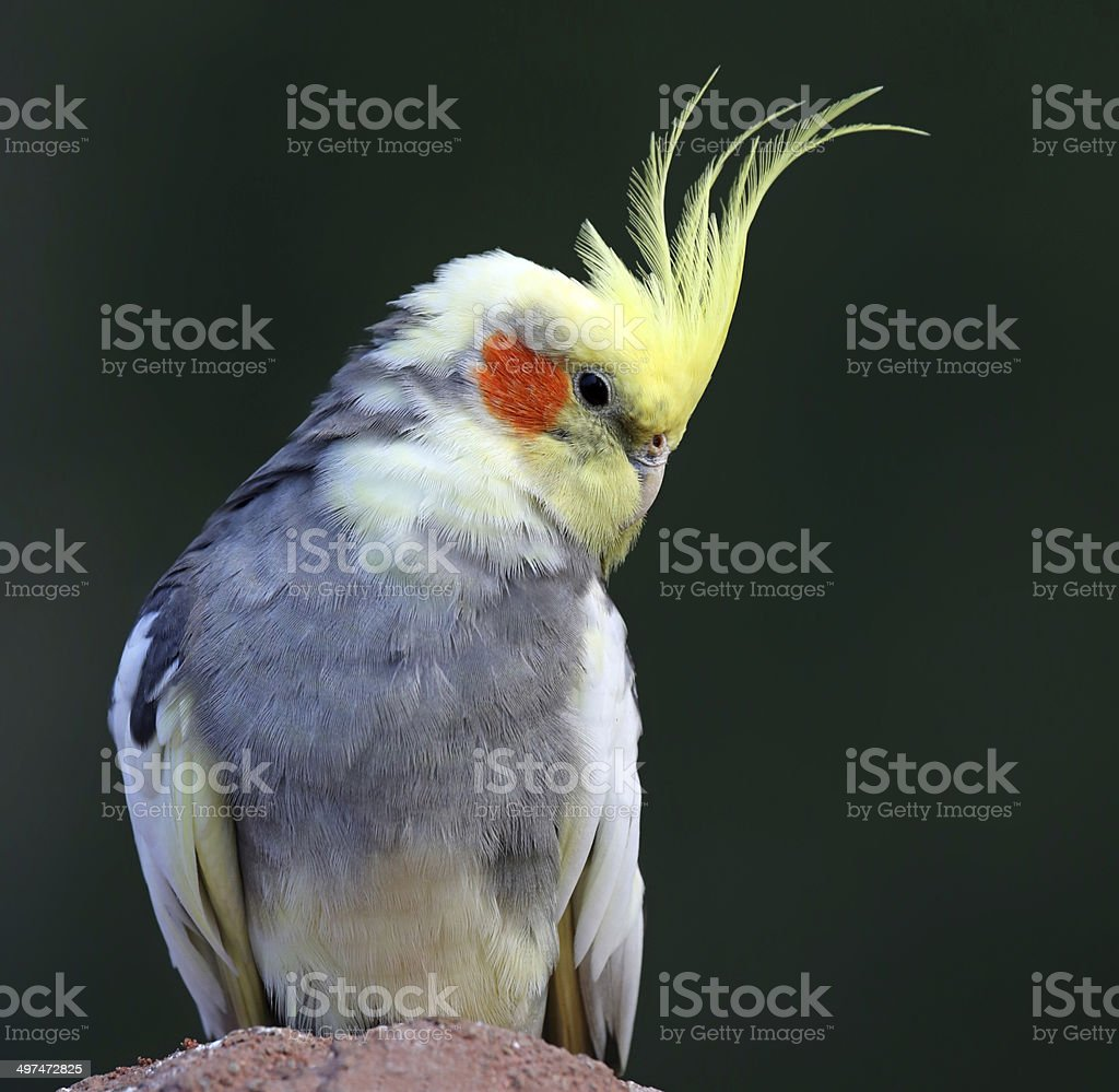 Close-up view of a Cockatiel stock photo