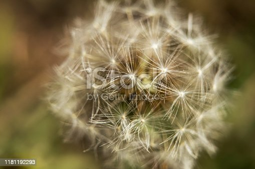 Close-up view of a dandelion flower in a green meadow. In the fall of the year.