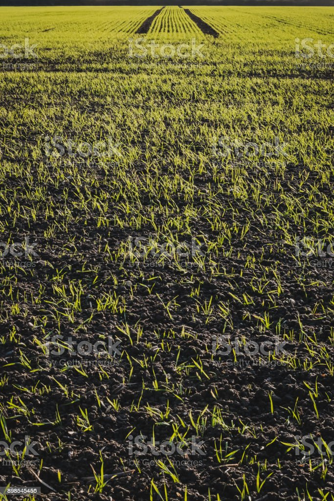 Close-up view of a fresh field of wheat crop seen in mid winter. stock photo