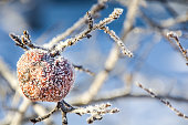 Close-up view of a frosted apple covered with ice on an apple tree in winter. Blue background.