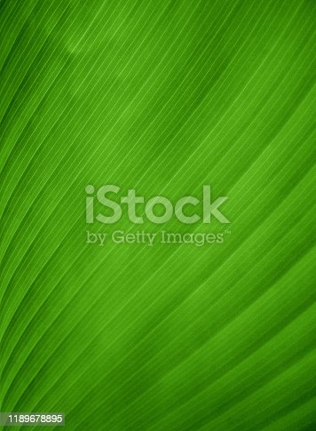 Closeup view of a green banana leaf.