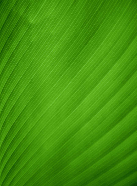 Closeup view of a green banana leaf stock photo