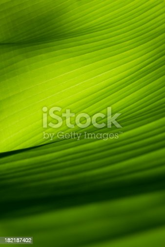 Banana leaf.  Similar photographs from my portfolio: