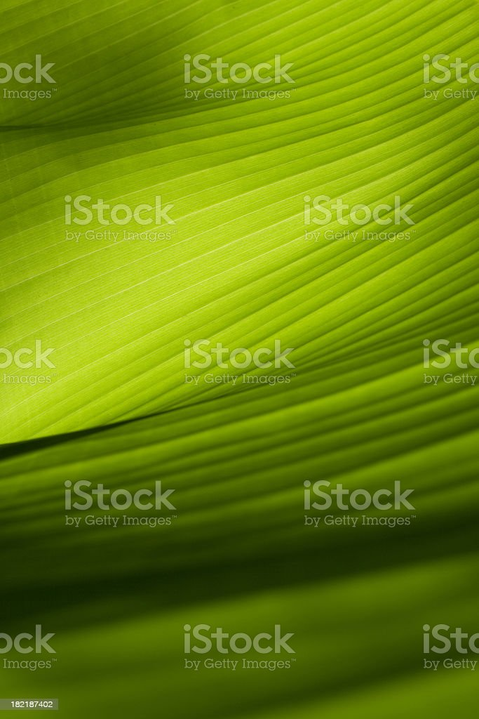 Closeup view of a green banana leaf stock photo