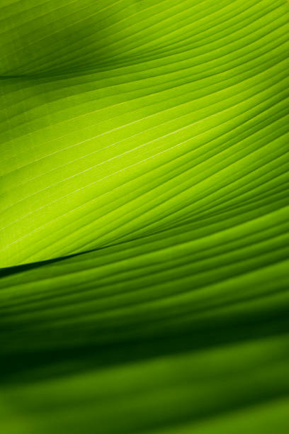 Closeup view of a green banana leaf Banana leaf.  Similar photographs from my portfolio: chlorophyll stock pictures, royalty-free photos & images
