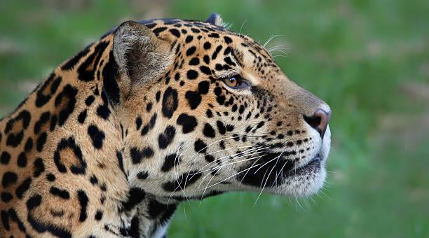 primo piano di vista di un giaguaro (panthera onca - ocelot foto e immagini stock