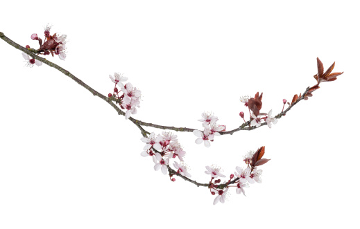 Close-up view of a Japanese Cherry branch