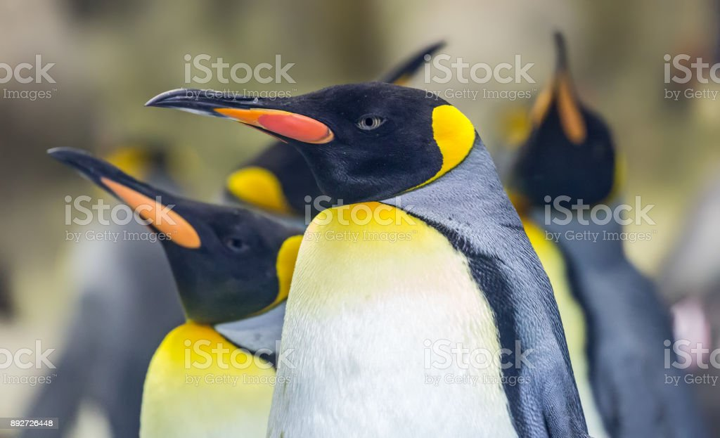 Close-up view of a King penguin stock photo
