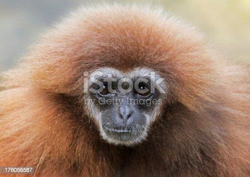 Close-up view of a female lar gibbon (Hylobates lar)