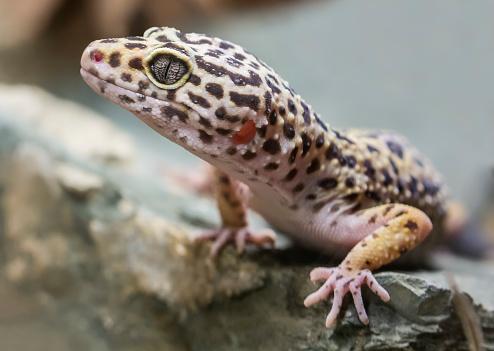 Close-up view of a Leopard gecko (Eublepharis macularius)