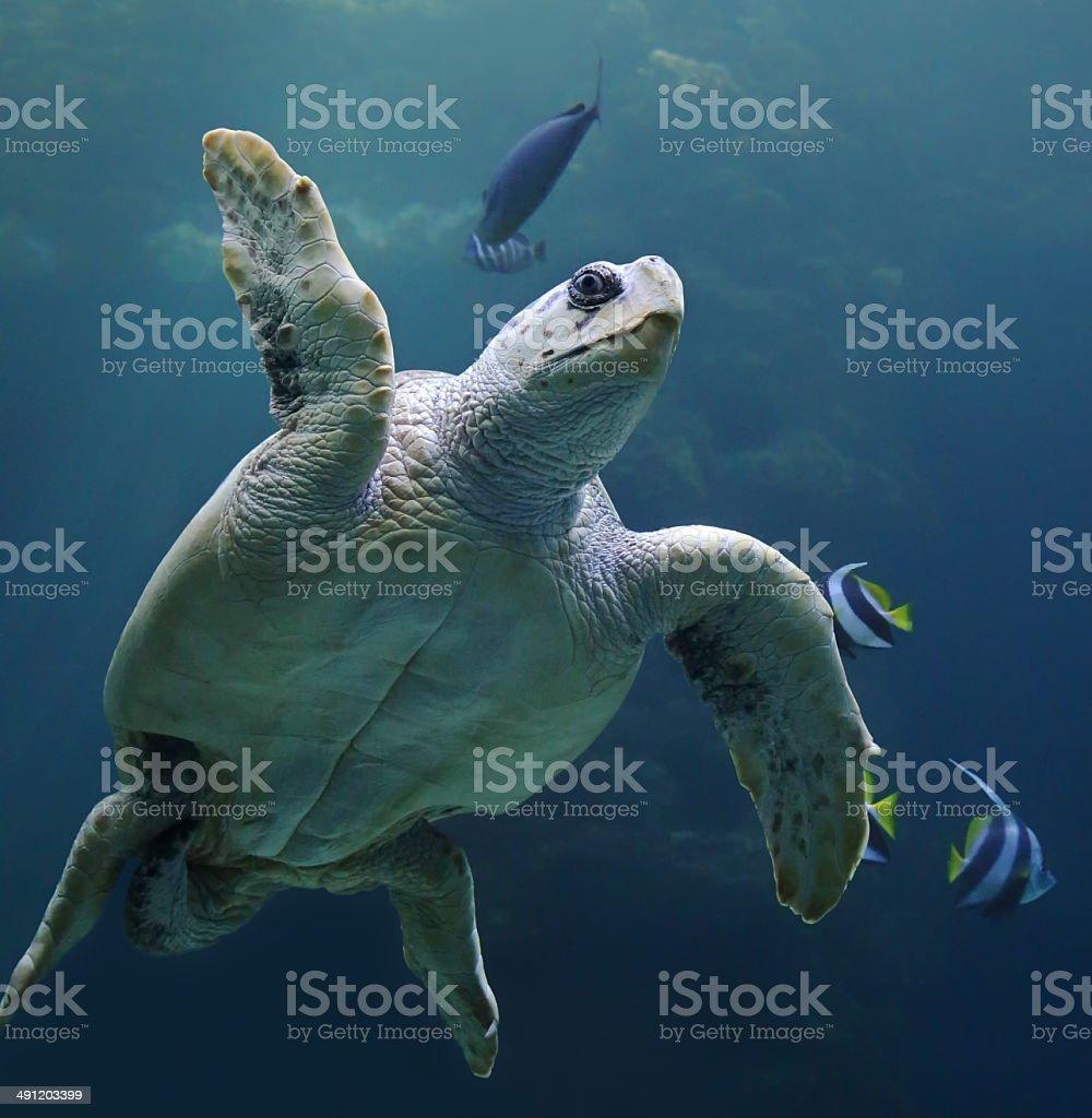 Close-up view of a Loggerhead sea turtle stock photo