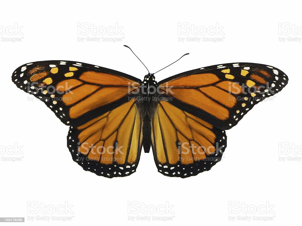 Close-up view of a Monarch butterfly on a white background stock photo