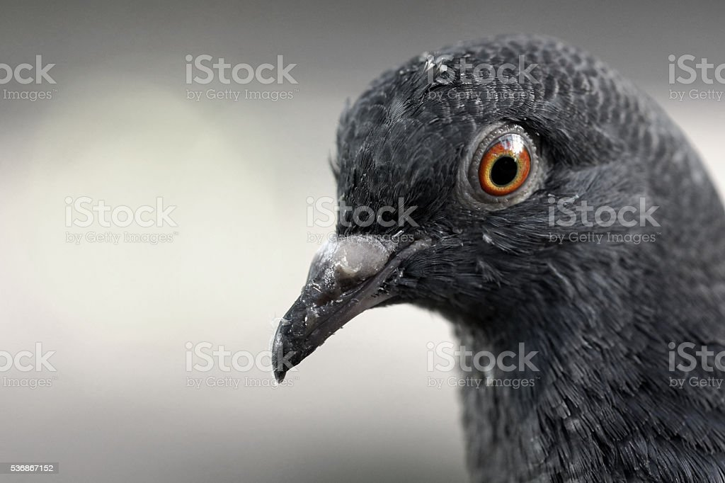 Close-up view of a Pigeon stock photo