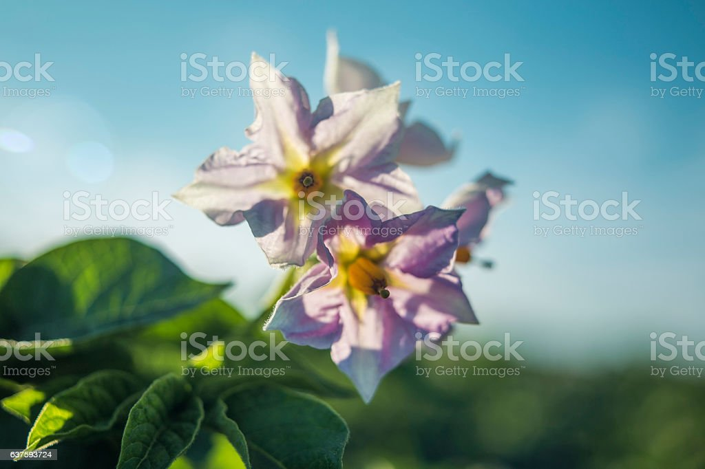 Close-up view of a potato blossom at field. – Foto