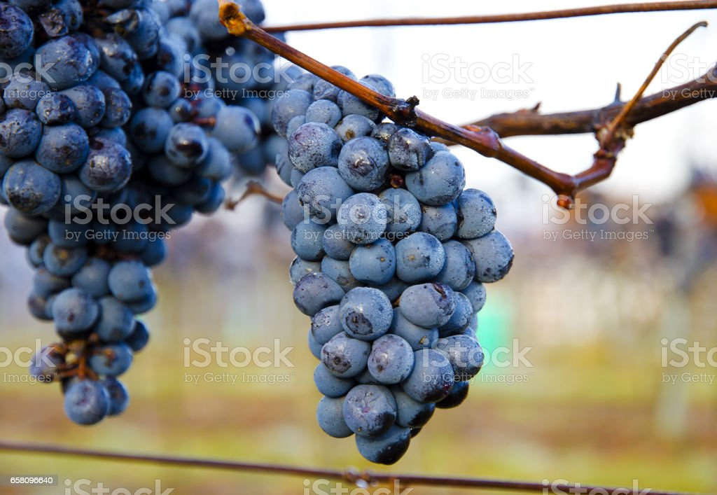 Closeup view of a purple tassel grapes in a vineyard in autumn in morning frost royalty-free stock photo