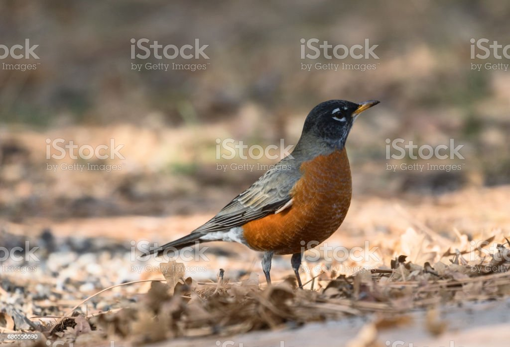 A closeup view of a red-breasted American Robin in the late autumn on a background of fallen leaves near the Grand Canyon foto stock royalty-free