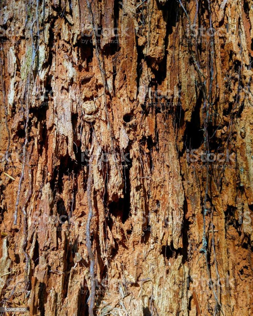 A closeup view of a rotting redwood cedar stump stock photo