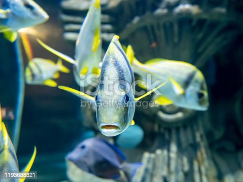 Close-up view of a school of tropical fish with vibrant yellow colored stripes in a home aquarium setting. One individual directly in front of camera. Focus on eyes. Subject is brightly lit.