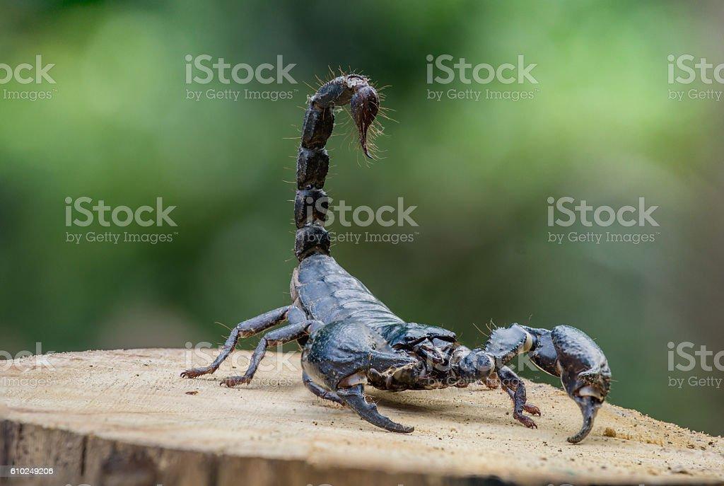 Closeup view of a scorpion on wood stock photo