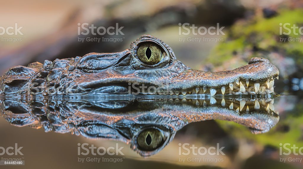 Close-up view of a Spectacled Caiman stock photo