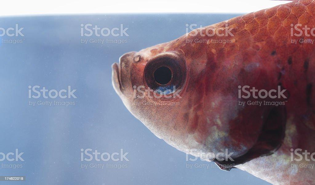Close-up view of a tropical aquarim fish royalty-free stock photo