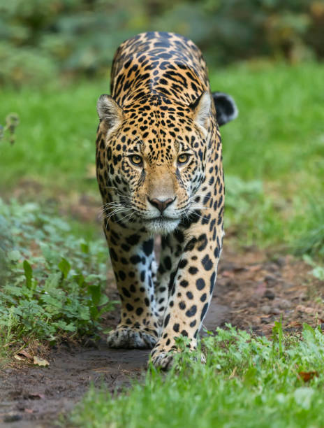close-up view of a walking jaguar (panthera onca) - big cat stock pictures, royalty-free photos & images