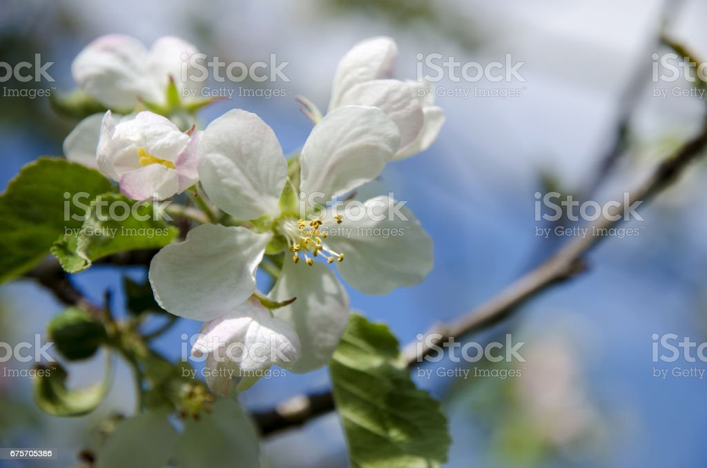 Close-up view of an apple blossom on a spring sunny day with a blue sky background royalty-free stock photo