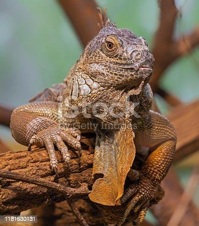 istock Close-up view of an old Green Iguana (Iguana iguana) 1181630131