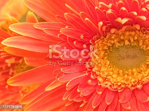Flowers Close up & Macro Photography, A closeup view of a Garvinea with yellow and orange petals