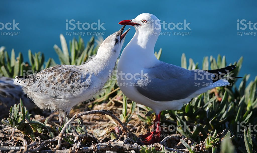 Close-up view of an Red-billed gull feeding chick (New Zealand) stock photo