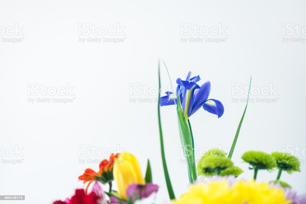 close-up view of beautiful blooming flowers isolated on grey royalty-free stock photo