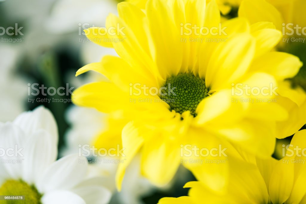 close-up view of beautiful blooming white and yellow flowers zbiór zdjęć royalty-free