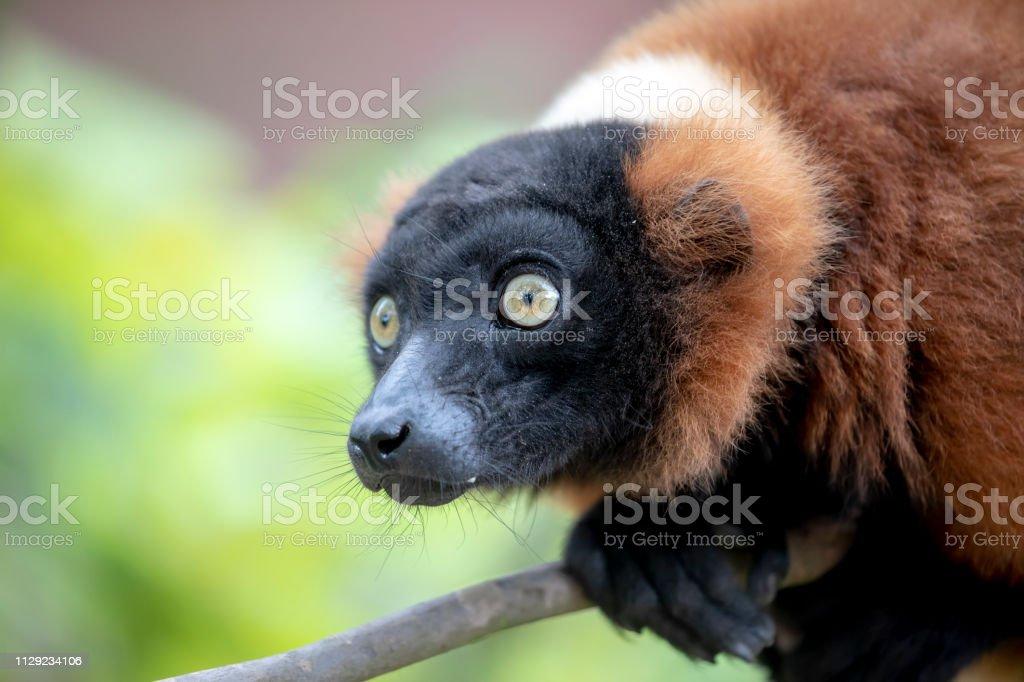 Foto De Closeup Vista Linda Lemur Vermelho Selvagem Na
