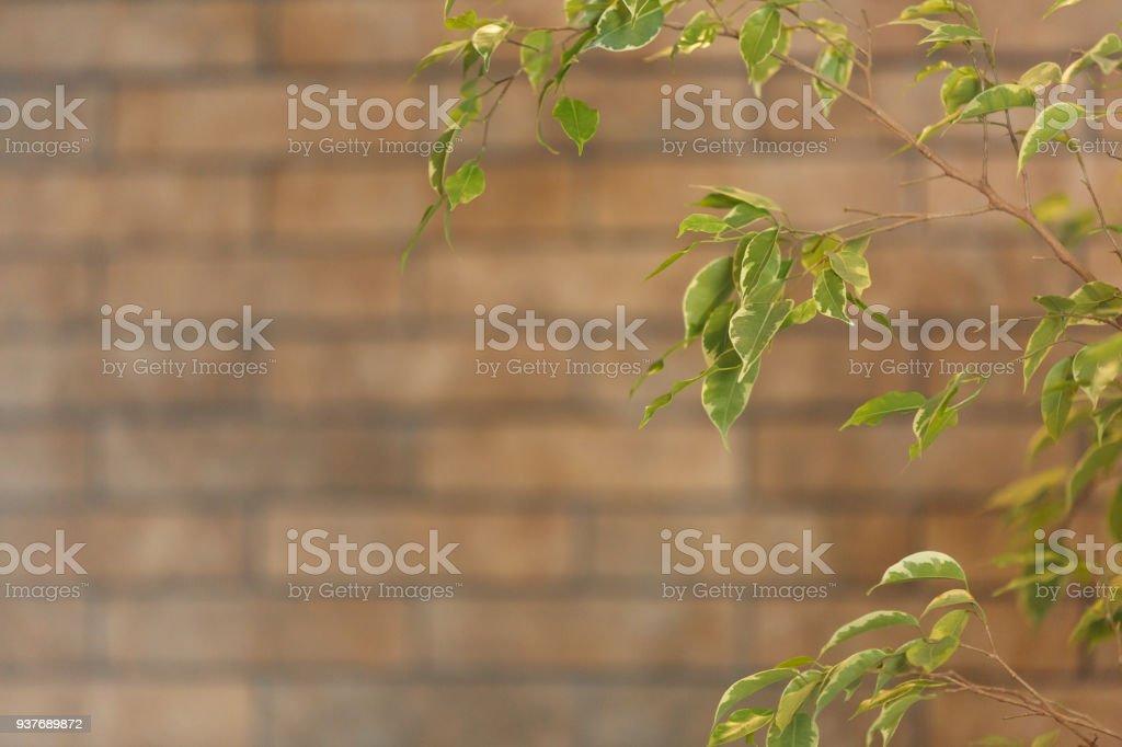 closeup vista de ficus benjamin, ao lado da parede - foto de acervo