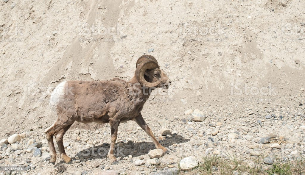 Closeup view of big horned sheep walking in Canada stock photo